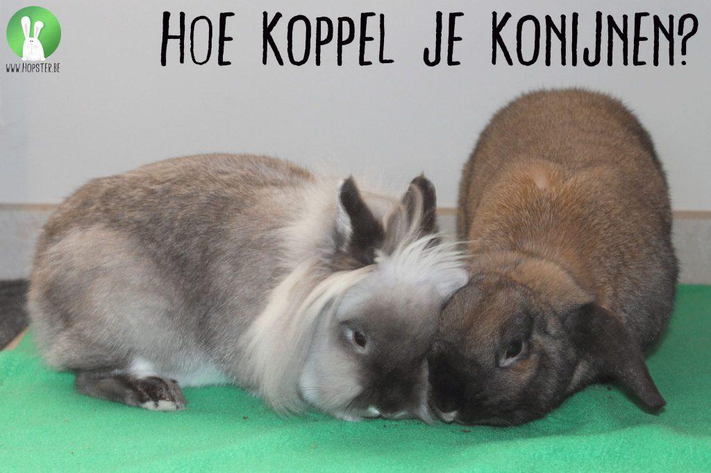 Hoe koppel je konijnen?   Konijnenadviesbureau Hopster
