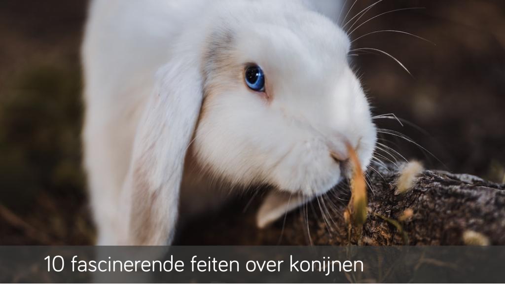 10 fascinerende feiten over konijnen   Konijnenadviesbureau Hopster