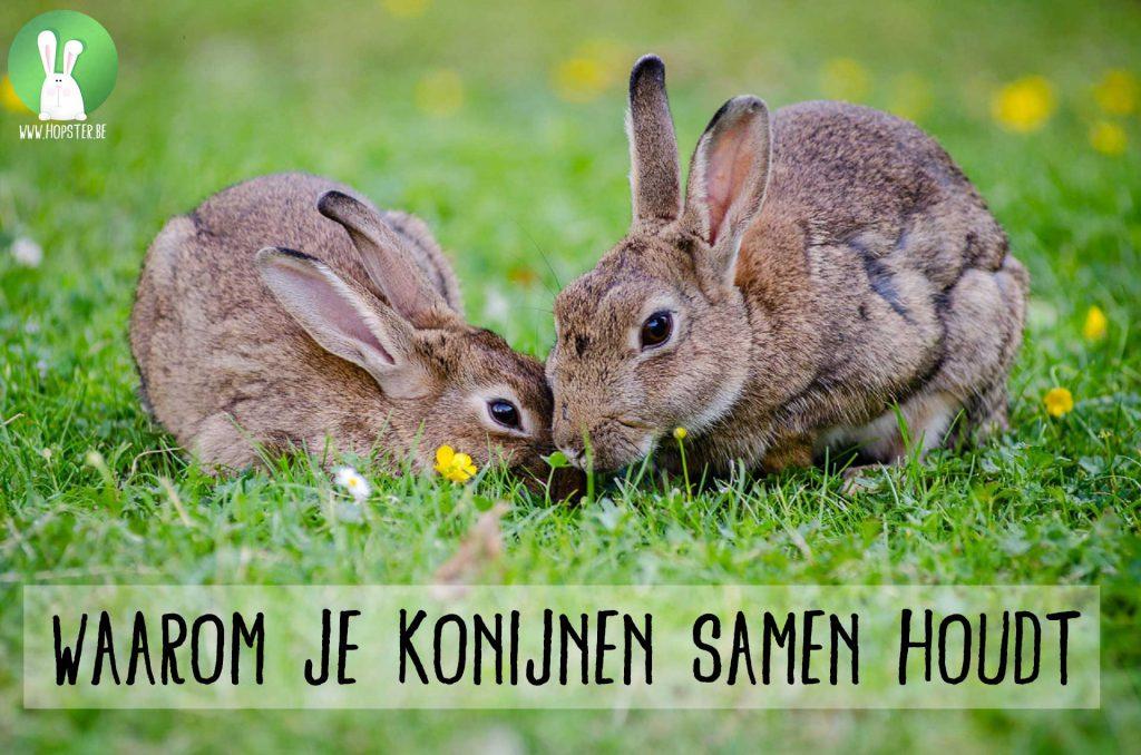 Waarom je konijnen samen houdt   Konijnenadviesbureau Hopster