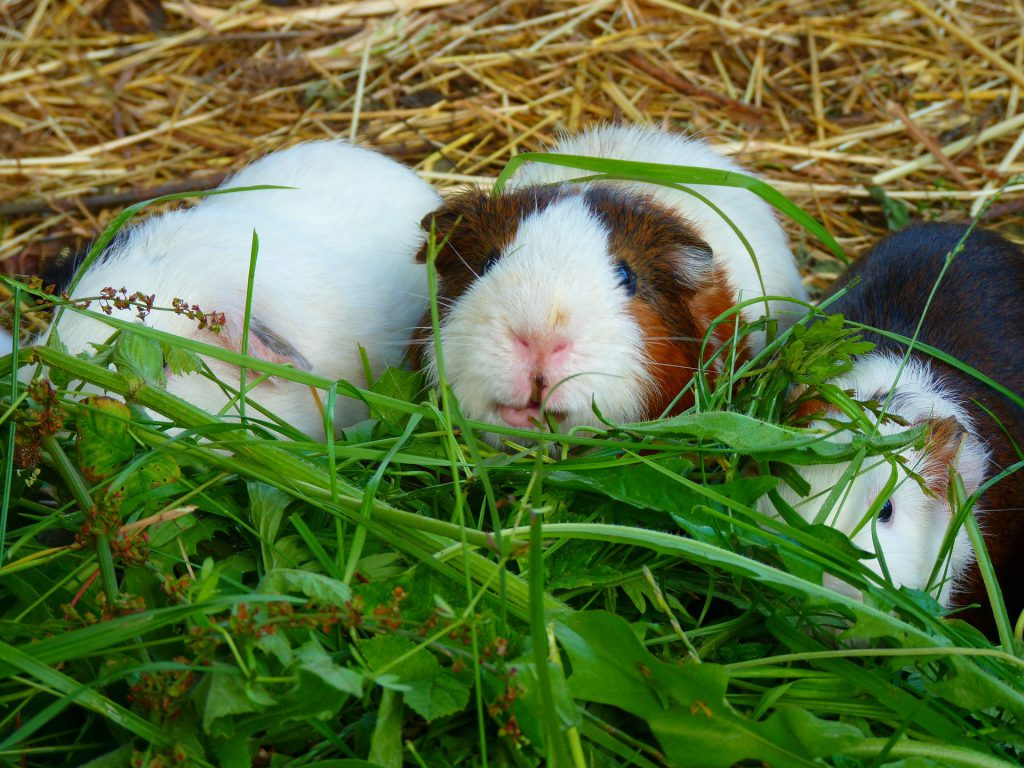 Waarom je konijnen en cavia's beter niet kan samenhouden | Konijnenadviesbureau Hopster